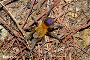 Pseudhapalopus sp. Yellow Blue from Colombia